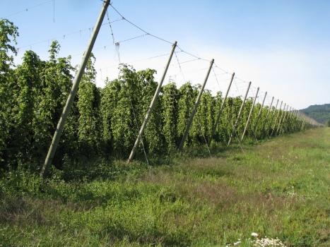field of hops